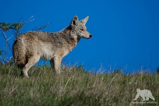 Coyote Lookout, Nikon D4S, Sigma 150-600mm F5-6.3 DG OS HSM | S
