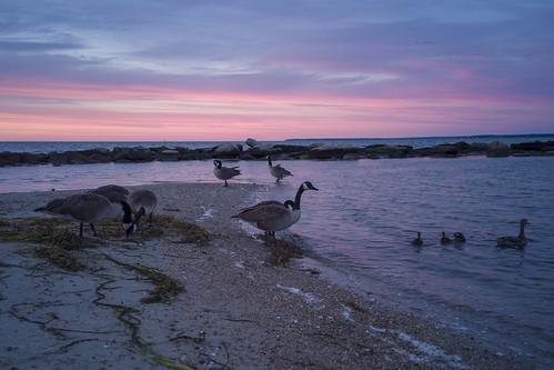 surfbeach capecod beach dawn sunrise canadageese mallard jetty marthasvineyard marine