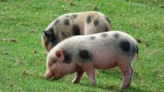 Cerza Zoo - piglets (5)