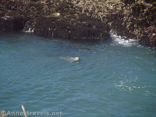 A seal in the water at Point Arena-Stornetta National Monument, California