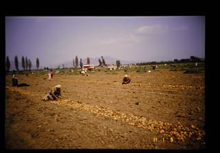 Harvest Of Potato = バレイショの収穫