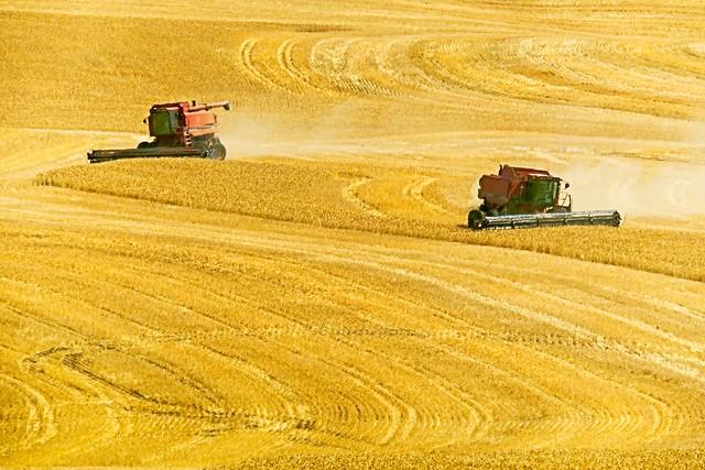 Combines Harvesting Wheatfield 191 B