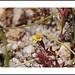 Cottonwood Pass Trail Wildflowers by AussieinUSA