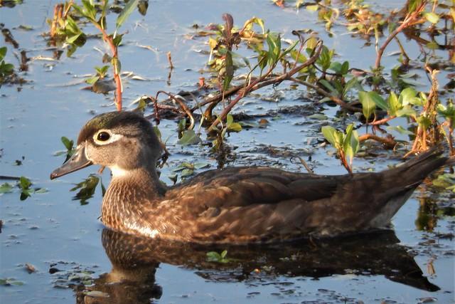 Female wood duck. Folsom, Nikon COOLPIX S9500