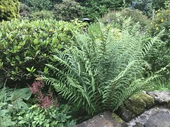 Ferns at Croftfoot