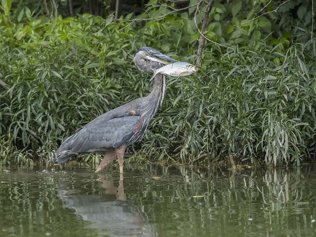 GREAT BLUE HERON, Canon EOS-1D X MARK II, Canon EF 500mm f/4L IS