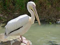 Cerza Zoo - pelican (2)