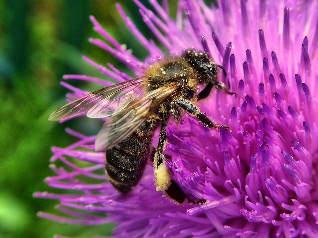 Pollenrausch im Insektenreich, Panasonic DMC-TZ61
