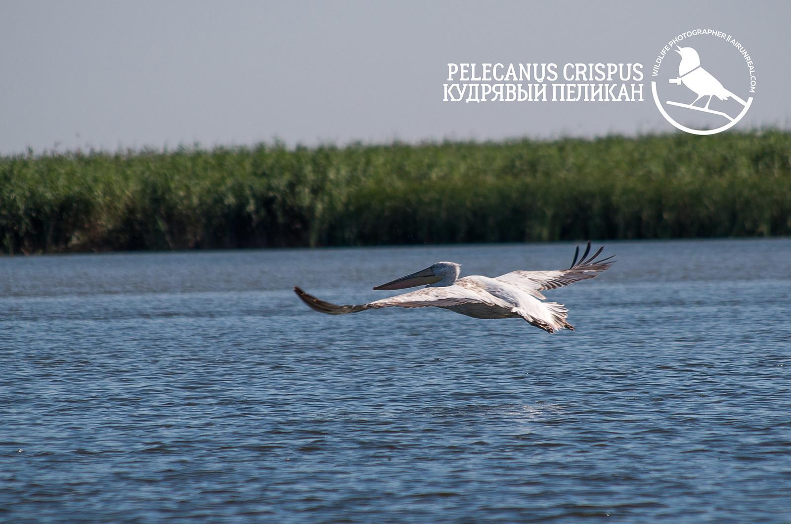 Pelecanus crispus // 20170921