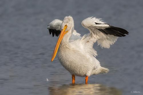 American White Pelican / Pélican Blanc d'Amérique