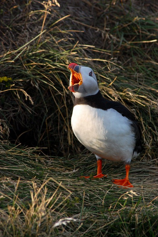 Angry Puffin