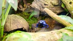 Minuscule Dendrobate bleu