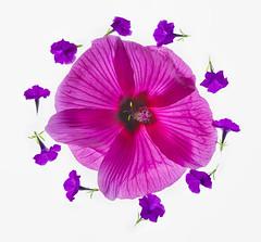 redhibiscus-purplepetunia
