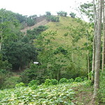 Improved fallow agroforestry system