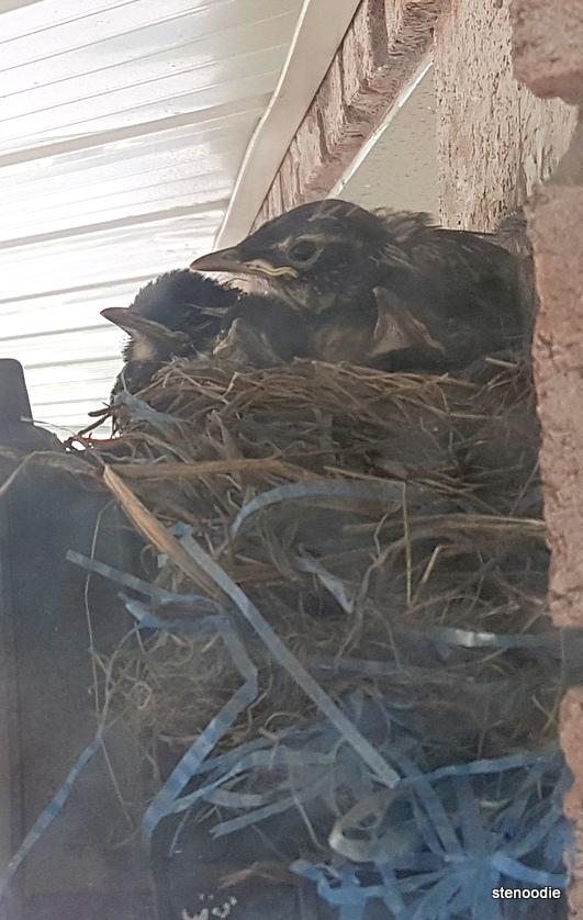 Baby robins have fur
