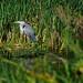 Grey Heron by adairfarrar