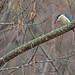 Sacred Kingfisher 65