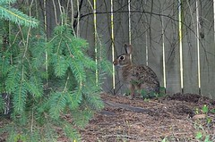 Harold-the-quick (backyard bunny)....Sylvilagus floridanus (Eastern Cottontail)