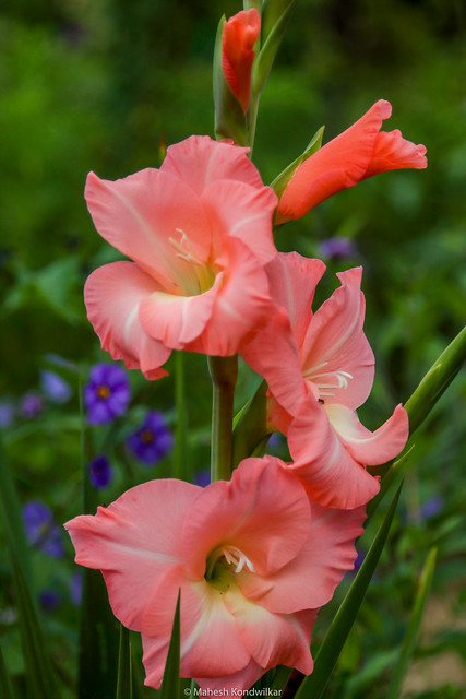 Gladiolus Sword lily Money Giverny