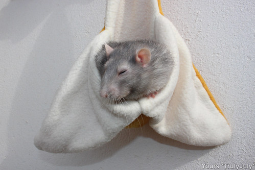 Smudge enjoys hanging in the banana rattie hammock.