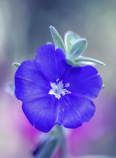 Tiny Blue Flower | by Charles Patrick Ewing
