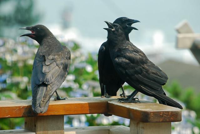 overheated crow family 2