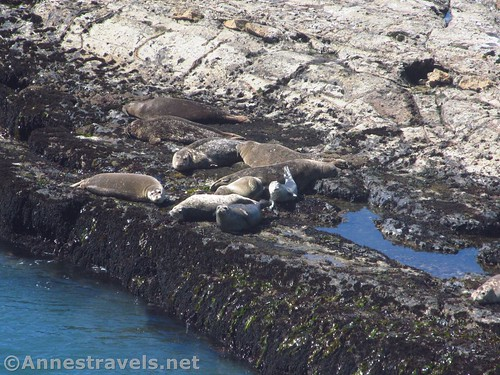 Seals sunning themselves on a rocky bar at Point Arena-Stornetta National Monument, California