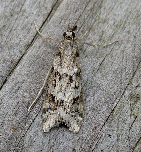 Eudonia angustea Tophill Low NR, East Yorkshire August 2017