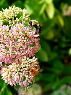 Bees on stonecrop