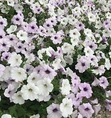 Pots 'o petunias. #flowers, #pretty, #myoldkentuckyhome