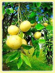 Citrus x paradisi (Grapefruit, Paradise Citrus) produces edible fruits, 14 Aug 2014