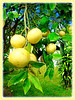 Citrus x paradisi (Grapefruit, Paradise Citrus)