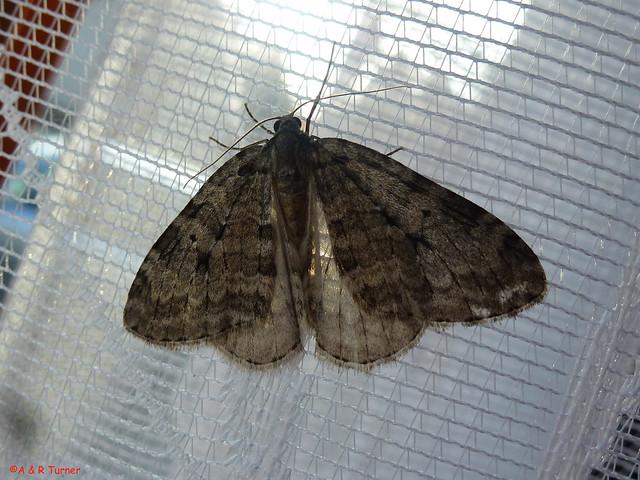 43 November Moth agg 181014