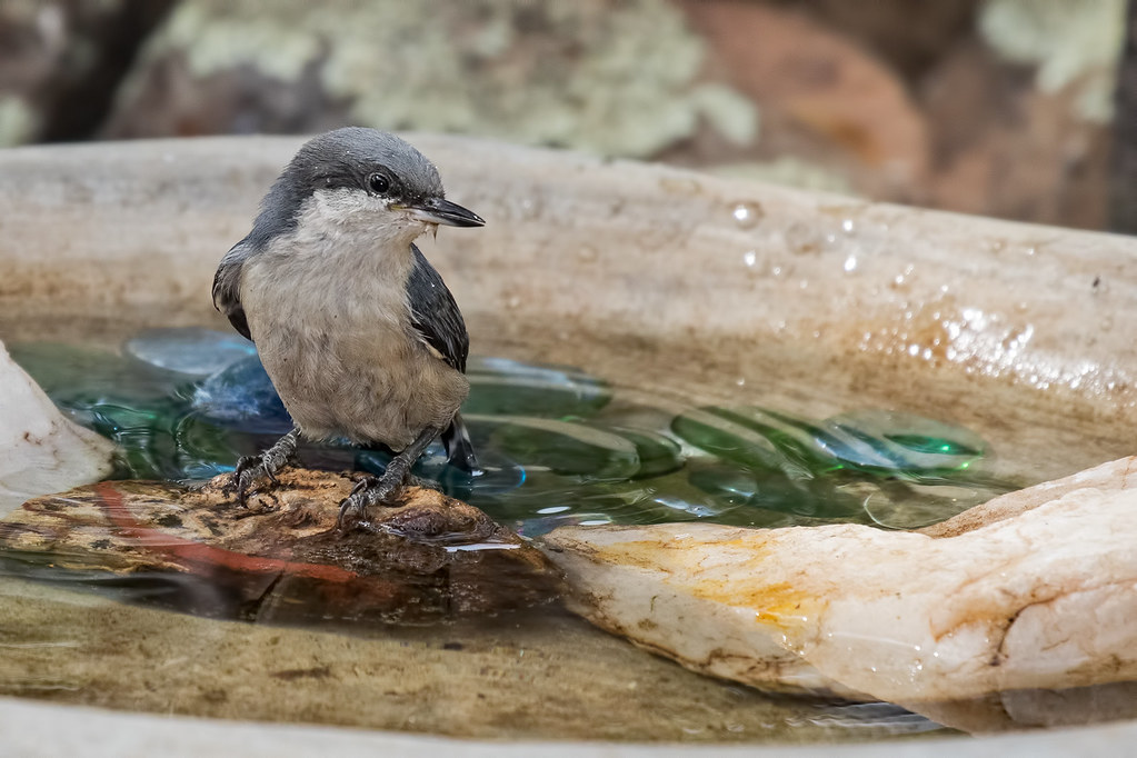 Pygmy-Nuthatches-29-7D2-070617