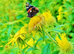 Red Admiral enjoying a spot of lunch