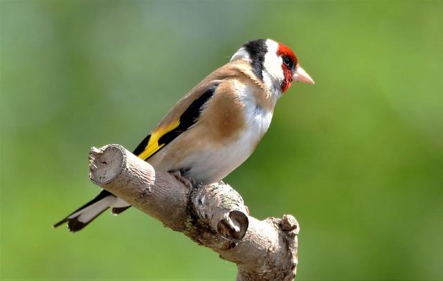 Goldfinch in the sun.