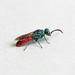 Cuckoo Wasp (Chrysis sp.), St Bees, Cumbria, England
