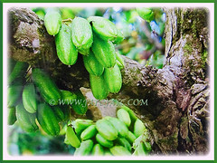 Fruits of Averrhoa bilimbi growing on the branches of Averrhoa bilimbi (Bilimbi, Bilimbi Tree, Cucumber Tree, Tree Sorrel, Belimbing Asam/Buloh in Malay), 19 Aug 2017