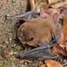 Pipistrelle Bat (3)