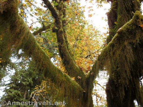Moss in the Hoh Rain Forest of Olympic National Park, Washington