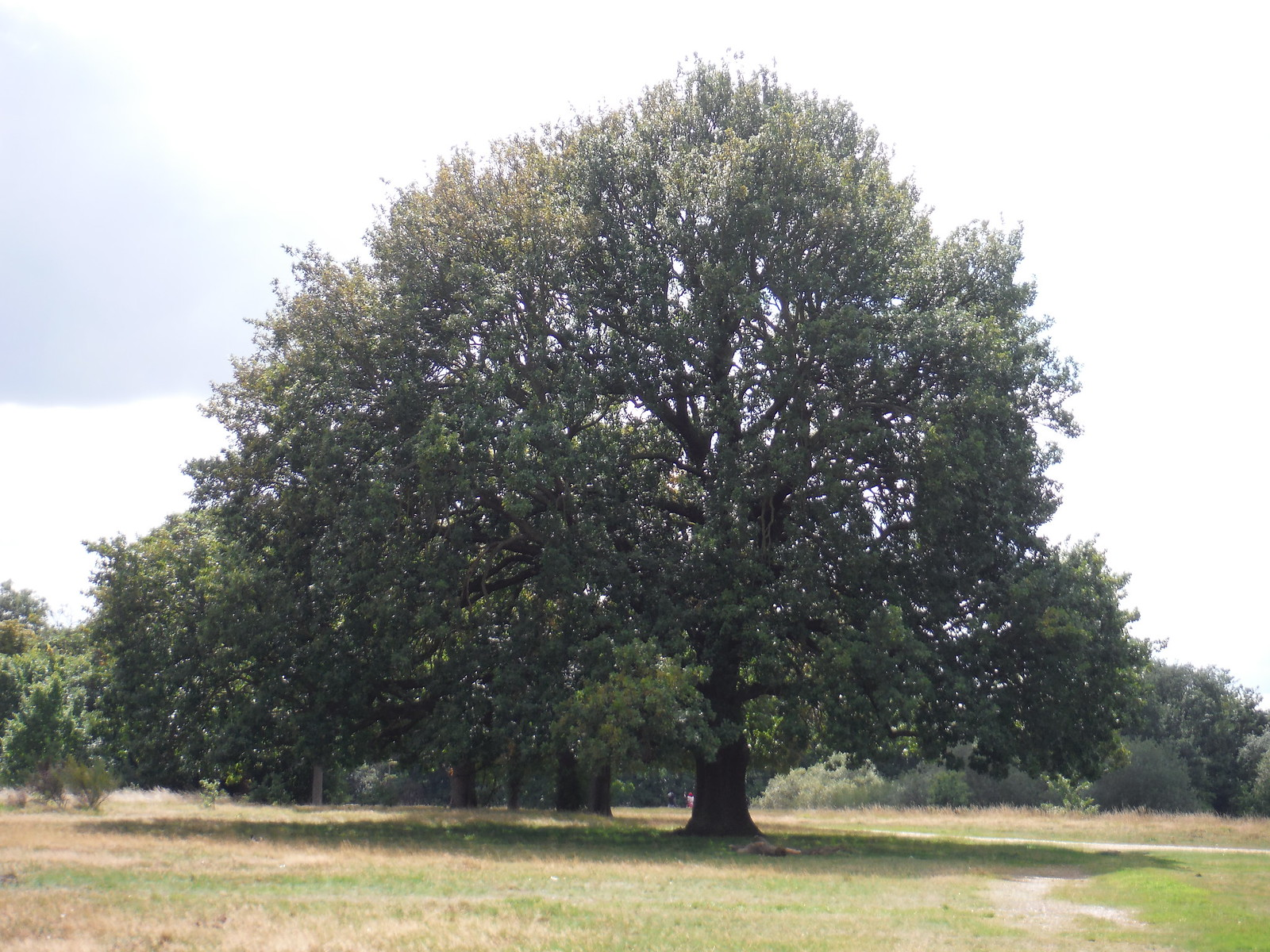 Tree SWC Walk Short 11 - Wanstead Park