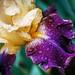Iris Rain by allie.hendricks.photography