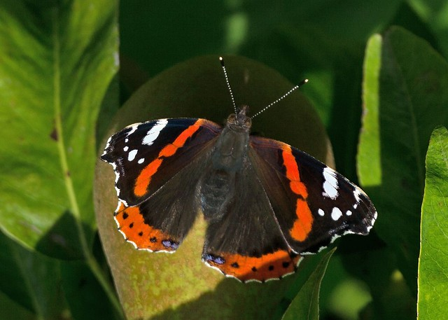 Male Red Admiral Butterfly