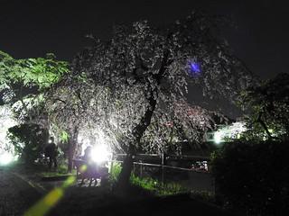 千葉公園綿打池 夜桜ライトアップ11