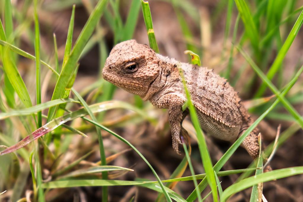 Horned-Lizard-6-7D2-081117