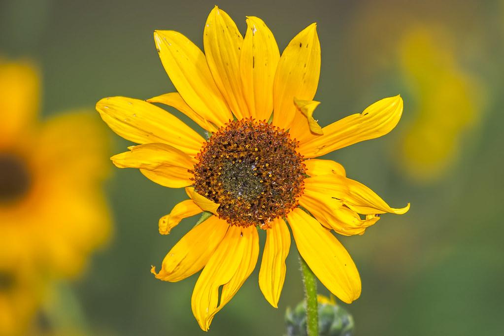 Sun-Flower-6-7D2-083017
