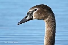 Young Mute Swan - junger Höckerschwan