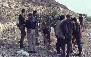 Tel Aviv boys (ex conscriptees) studying Calotropis. Ortolan bunting terrace. Ein Gedi Reserve