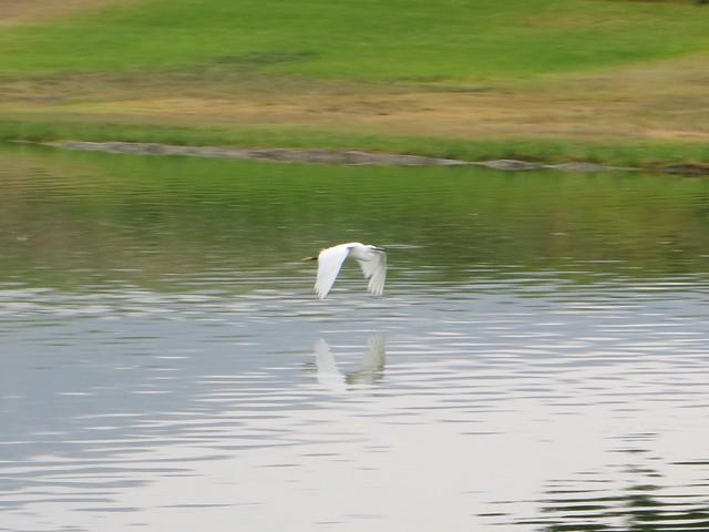 egret at the pond