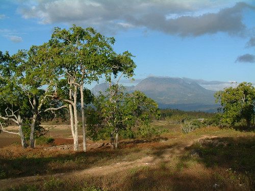 aleurites aleuritesmoluccana euphorbiaceae timorleste timor easttimor